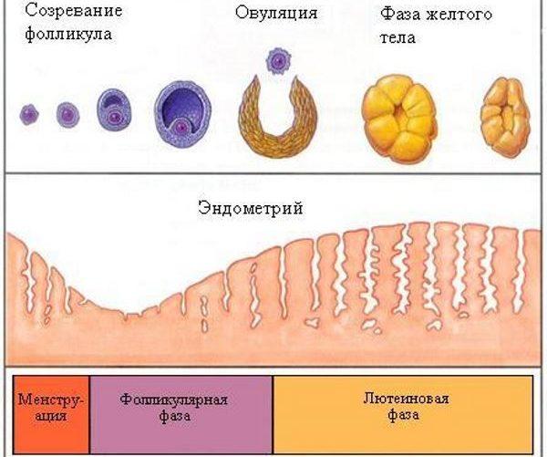 Эндометрий при стимуляции