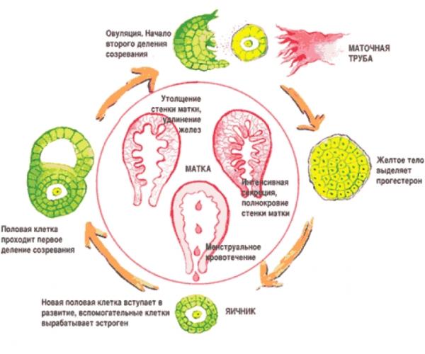 Менструация яйцеклетка