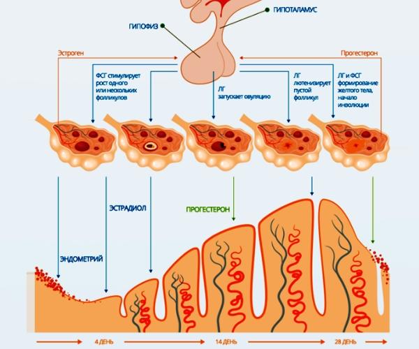 Прогестерон у женщины