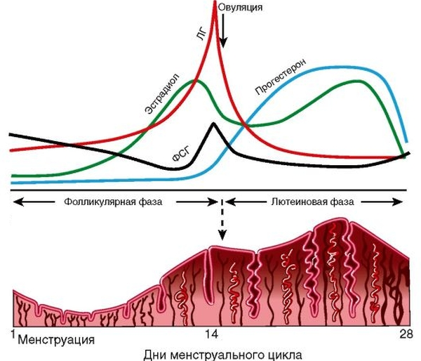 Эстрадиол менструальный цикл