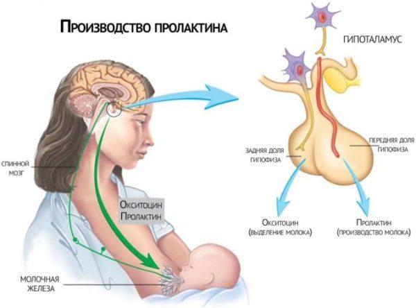 Пролактин гормон
